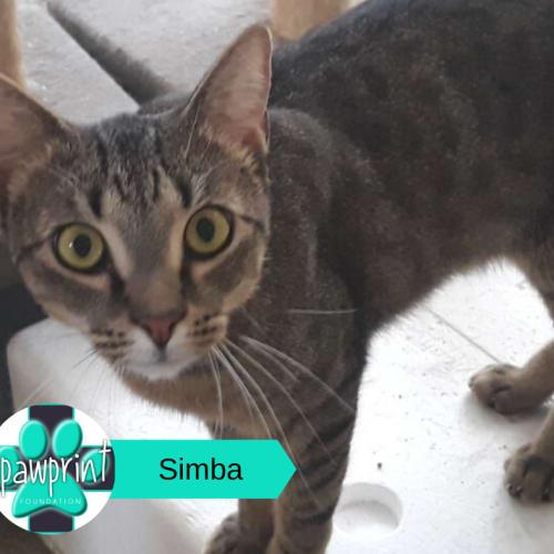 Simba - Domestic Short Hair Cat