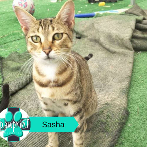 Sasha - Domestic Short Hair Cat