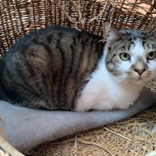 Blackie - Domestic Short Hair Cat