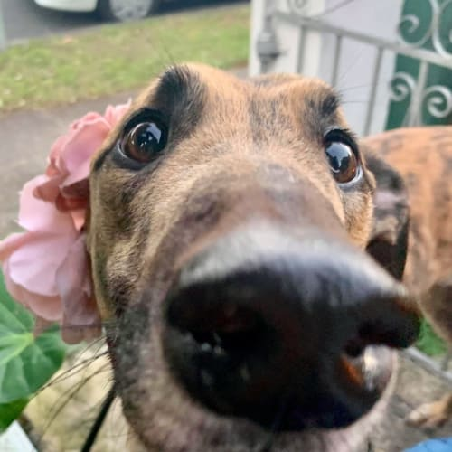 Joey - Greyhound Dog