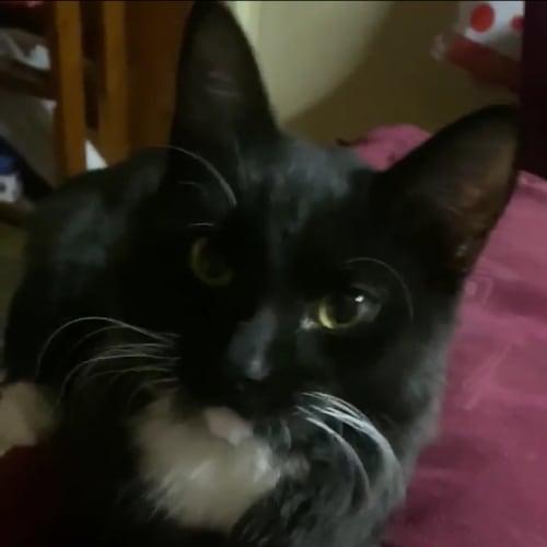 Hugo & Tigger - Domestic Short Hair Cat