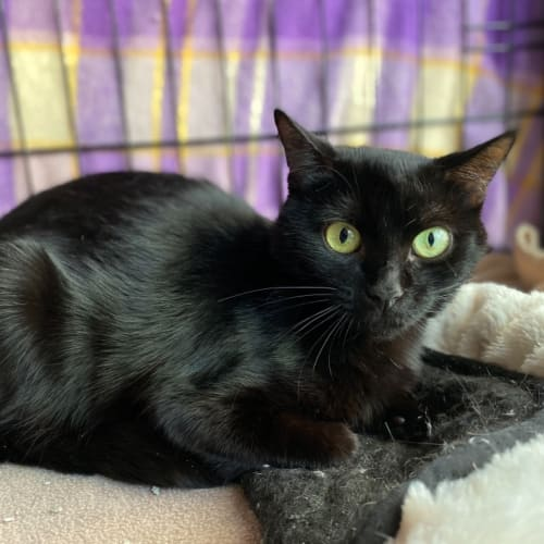 Dolores - Domestic Short Hair Cat