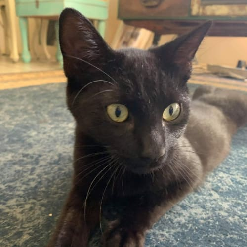 Knight - Domestic Short Hair Cat