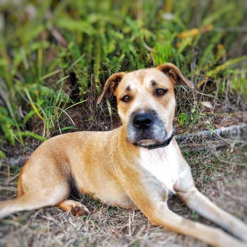 Precious  - Wolfhound Dog