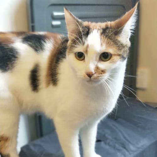 Gem & Marble(Cake) - Domestic Short Hair Cat