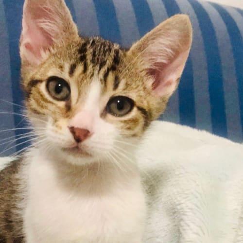 Macks - Domestic Short Hair Cat