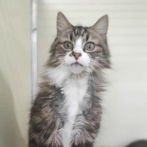 Tigger  - Domestic Medium Hair Cat