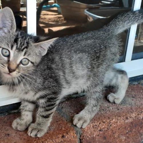 Dante - Domestic Short Hair Cat