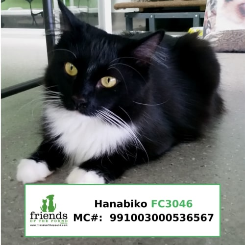 Hanabiko - Domestic Medium Hair Cat