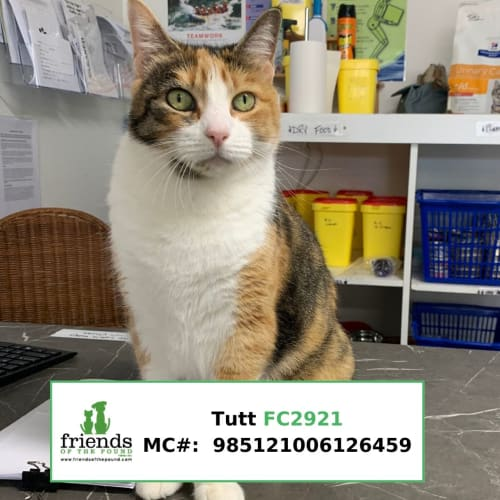 Tutt - Domestic Short Hair Cat