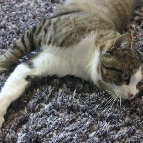 Quinton - Domestic Short Hair Cat