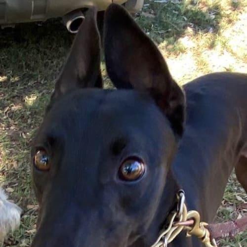 Frank - Greyhound Dog