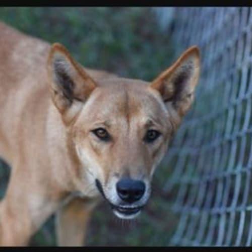Kirra - Dingo