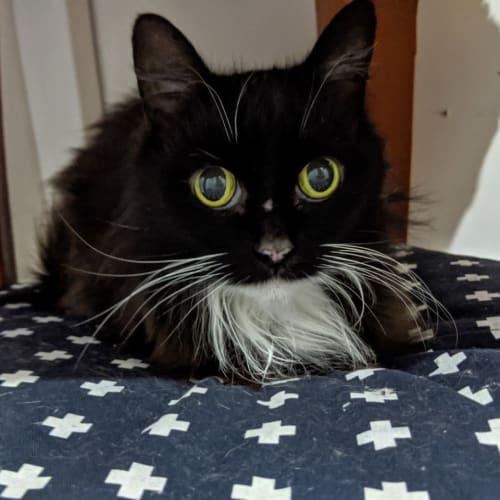 Sabrina - Domestic Medium Hair Cat