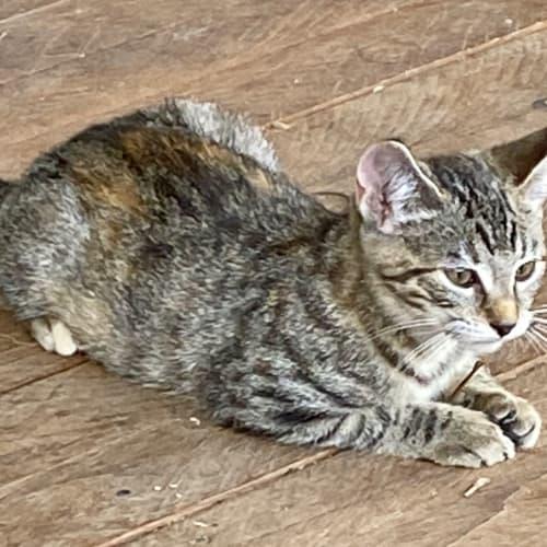 Tina - Domestic Short Hair Cat