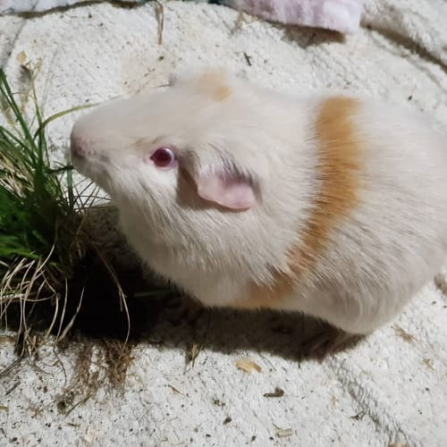 Jazz (Lab Piggy - Buddy of Chocdrop) - Smooth Hair Guinea Pig