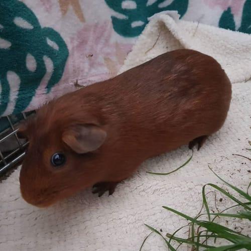 Mumma Red -  Guinea Pig