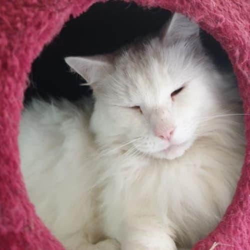 Hugo - Ragdoll Cat