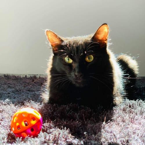 1489 - Amber - Domestic Short Hair Cat