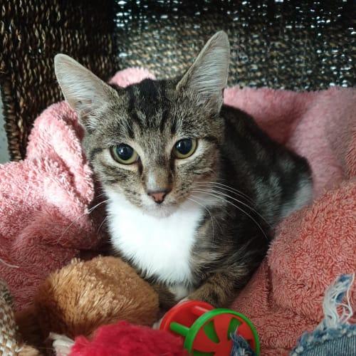 Jax the Star - Domestic Short Hair Cat