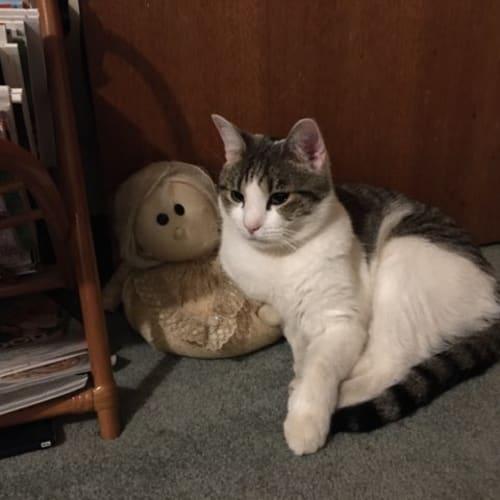 Richard - Domestic Short Hair Cat