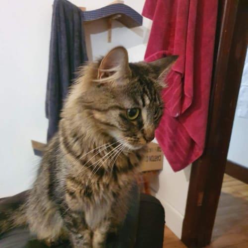 Lindsay  - Domestic Medium Hair Cat