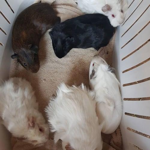 Cotton  -  Guinea Pig