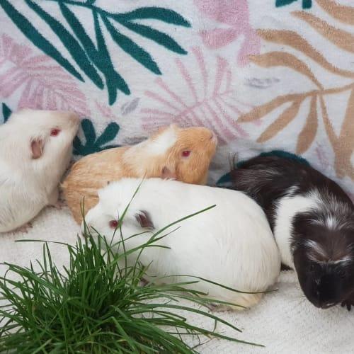 Spootle (Buddies with Mango, Silvia, & Tubbykins) -  Guinea Pig