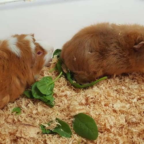 Nibbles (Buddy of Squeak) -  Guinea Pig
