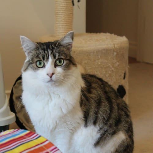 Katsumi - Domestic Short Hair Cat