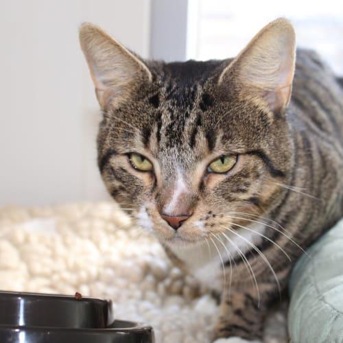 Lord Ian - Domestic Short Hair Cat