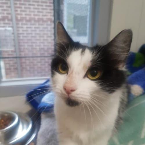 Sophie - Domestic Medium Hair Cat