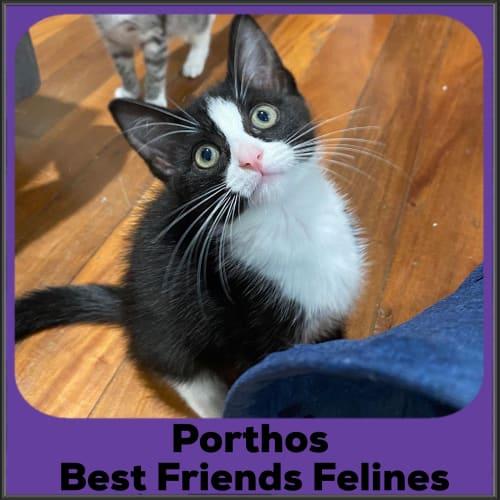 Porthos  - Domestic Short Hair Cat