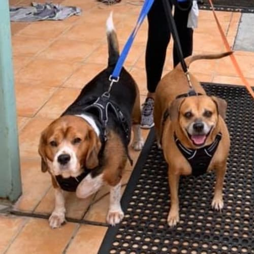 Scooby and Shandie - Beagle Dog