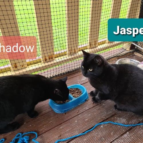 Jasper & Shadow - Domestic Short Hair Cat