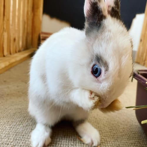 Cindel  - Netherland Dwarf Rabbit