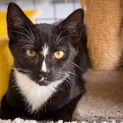 Nigel - Manx Cat