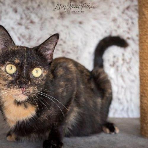 Teeka - Domestic Short Hair Cat
