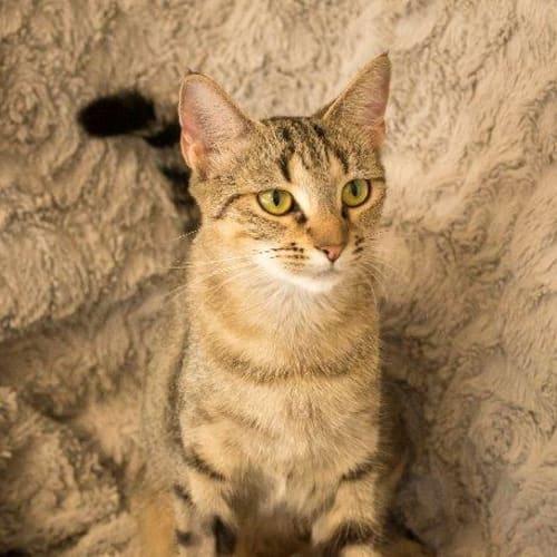 Riah - Domestic Short Hair Cat