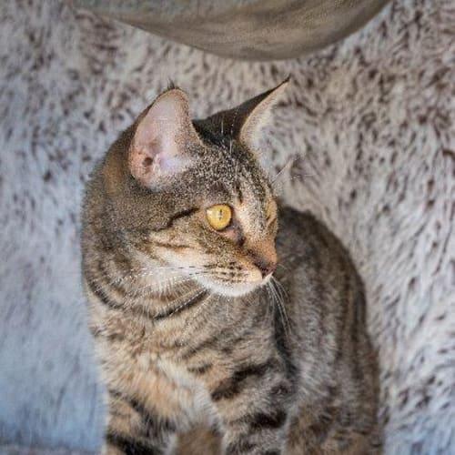 Liviah - Domestic Medium Hair Cat