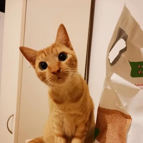 Aggie - Domestic Short Hair Cat