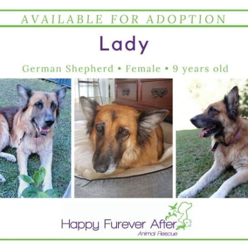 Lady - German Shepherd Dog