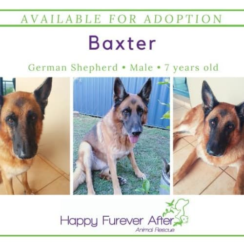 Baxter - German Shepherd Dog