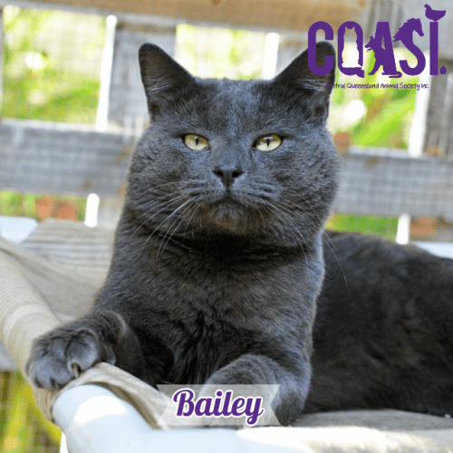 Bailey - Russian Blue Cat