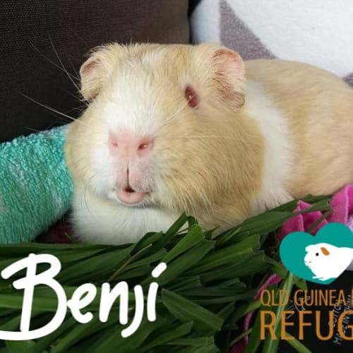 Benji - Smooth Hair Guinea Pig