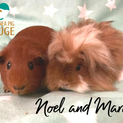 Noel and Marcey - Smooth Hair x Texel Guinea Pig