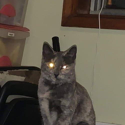 Thelma - Domestic Short Hair x Siamese Cat