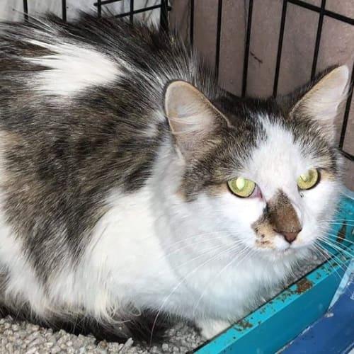 Callie - Domestic Long Hair Cat