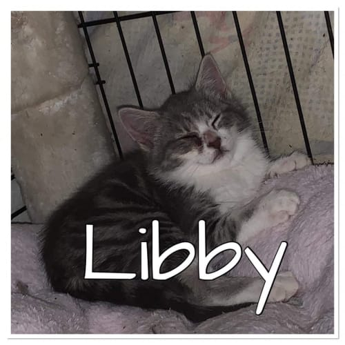 Libby - Domestic Short Hair Cat
