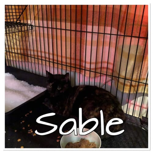 Sable - Domestic Short Hair Cat